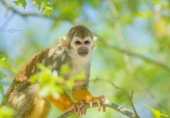 Un regard change tout (Logjrom) Tags: loireatlantique singe singeecureuil zoo planetesauvage colors couleurs