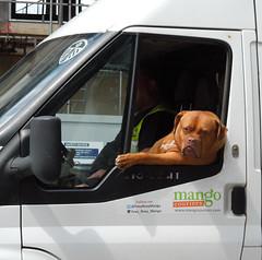 "London Streets, May 2016: ""Alright, mate?"" (roger.w800) Tags: dog out with head se1 cardog windowlondonlondon streetslondon doginavan vehicledog"