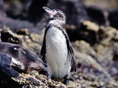 Galapagos Penguin III (Susan Roehl Thanks for 5.1 M Views) Tags: southamerica ecuador shoreline endangered lavarock galapagospenguin photographictours pentaxk7 galapagos2013 naturalexposures sueroehl bartholomeisland