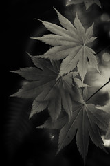 _1070746-Edit / Shadows & Light (doug_r) Tags: blackandwhite bw washington momiji japanesemaple acerpalmatum issaquah tigermountain shadowslight blancetnoir blancoynegre 1070746 panasonicgf1 2016dtrosenoffallrightsreserved 1070746edit pentaxsupertakumar30mmf28 lrprocessingpsnikagefx samabellarthurmeyerson