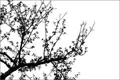 _wildapfel (fot_oKraM) Tags: wild tree apple natur nrw baum apfel apfelbaum stadtlohn wildapfel