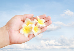 Fresh tropical Plumeria flower in hand holding with blue sky background (DomDew_Studio) Tags: pink summer sky cloud white plant blur flower nature beauty yellow female leaf petals holding hands perfume natural blossom plumeria belize bluesky blurred fresh exotic fragrant tropical frangipani bloom botanic concept agriculture spa healthcare scent ecological