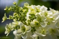 2016 Hydrangea #5 (Yorkey&Rin) Tags: macro japan ngc may olympus hydrangea kanagawa  rin kawasaki earlysummer  inmygarden 2016   em5   leicadgmacroelmarit45f28 t5290721