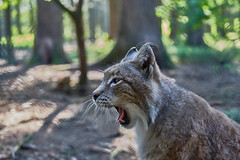 Soo Tired - Soo mde (W_von_S) Tags: animal cat germany bayern deutschland bavaria spring outdoor sony may mai mde tired katze wildcat lynx tier werner frhling wildpark poing 2016 luchs ebersberg wildkatze wvons alpha7rm2