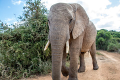 Elephant Close up (petersbar) Tags: africa southafrica addo bigfive bucketlist