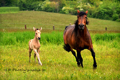 Gucci & Princesse (PhotOw'graphie) Tags: horse nature animal cheval animaux extrieur chevaux foal poulain