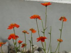 orange Freude (bratispixl) Tags: nature germany jahreszeit oberbayern blumen blte frhling chiemgau traunreut stadtrundweg bratispixl