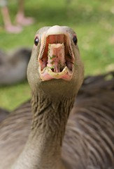 hissy fit (Benedict Flett) Tags: cambridge bird animal mouth river cam beak goose