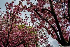 Printemps / Spring - Rouen (christian_lemale) Tags: flowers france tree fleurs spring nikon rouen arbre printemps d7100