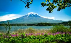 The view  of Mt Fuji from lake Kawaguchi. (JohnNguyen0297) Tags: flowers mountain lake beautiful japan fuji postcard mountfuji mtfuji kawaguchi 18105 lakekawaguchi fujikawaguchiko a6000 ilce6000 selp18105 johnnguyen0297