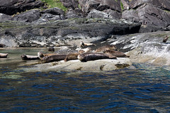 Fishermans Friends on Skye (Keith R Hunt (York)) Tags: skye scotland highlands marine wildlife seals elgol