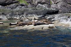 Fishermans Friends on Skye (Keith R Hunt (York)) Tags: skye scotland highlands marine wildlife seals elgol
