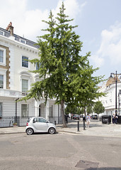Pimlico Gingko (P_L_Wood) Tags: tree london ginkgo maidenhairtree ginkgobiloba pimlico sw1 maidenhair streettree