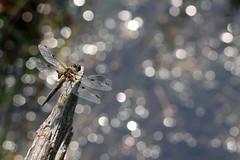 """Libellula quadrimaculata"" ( waterbokeh ) (bugman11) Tags: macro animal animals fauna canon bug insect dragonflies dragonfly bokeh nederland thenetherlands insects bugs 1001nights libellulaquadrimaculata thegalaxy viervlek 100mm28lmacro 1001nightsmagiccity"
