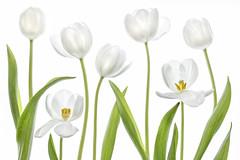 Tulips (Mandy Disher) Tags: summer white flower green floral flora whitebackground tulip
