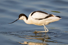 Avocet 'sweeping' (ianjoseph273) Tags: wildlife trust warren worcestershire upton avocet flashes