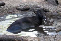 Lowry Park Zoo: Lowland Anoa (Jasmine'sCamera) Tags: park animal animals tampa zoo lowry lowland lowryparkzoo anoa
