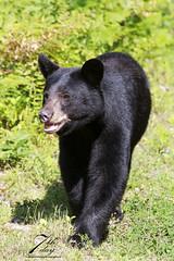 I'm walking here! (Seventh day photography.ca) Tags: bear summer ontario canada animal mammal wildlife wildanimal predator blackbear