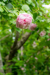 2016 Spring rose (shinichiro*@OSAKA) Tags: flower macro rose spring may jp  yokohama kanagawa crazyshin 2016    planart1450zf nikond4s  20160510ds31841