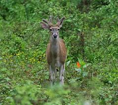 2016_05_17_9999_79     g-2 (george_gww) Tags: deer whitetailed