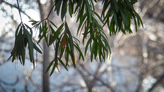 Weeping Eucalypt (Theen ...) Tags: adelaide bare branches brown drooping eucalyptus footpath green grey gum leaves lumix north suburban theen tree weeping winter zoom