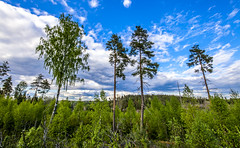 Finnish Palm Trees (Edgar Myller) Tags: trees sky cloud tree pine clouds forest suomi finland koivu hiking palm birch finnish mets taivas mnty palmut