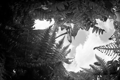You can run but you can't hide (Apionid) Tags: film monochrome monster rollei nikon dinosaur ferns pterosaur fm2n primeval day124366 retro400s 366the2016edition 3662016 3may16