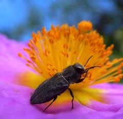 Anthaxia sp. (bego vega) Tags: madrid flower macro animal insect flor beetle escarabajo vega jara vf bv bego insecto coleoptera cistus coleptero buprestidae albidus buprstido