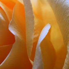 Rose (2) (goldengirl 2011) Tags: abstract flower macro rose indoor yellowrose rosepetals macrophotography flowermacro rosemacro macroflower macrorose katharinehanna