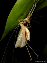 Freshly molted katydid (Ecuador Megadiverso) Tags: ecuador katydid orthoptera tettigoniidae molting andreaskay