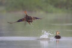 Sooner Or Later (gseloff) Tags: bird texas wildlife pasadena bif mottledduck kayakphotography gseloff horsepenbayou