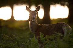 Red Deer (- Alex Witt -) Tags: