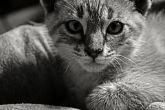Rex (Silvia Corral) Tags: white black blanco animal cat eyes chat noir negro oeil yeux ojos gato felino blanche blanc gat negre pelo ulls