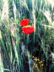Rosella poppy amapola pavot papavero (Jess 56) Tags: flowers flores flower fleur fleurs flor blumen poppy fiori  fiore rosella bulaklak flors pavot iek  amapola papavero