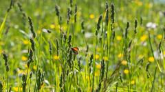 Lonely butterfly (stefanromen) Tags: nature butterfly spring natur felder insects fields insekten sdtirol schmetterling frhling altoadige southtyrol