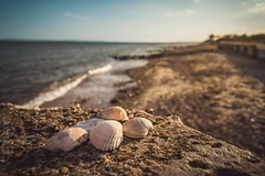 Soft Light Shells pt 2 (NVOXVII) Tags: stilllife beach nature closeup walking landscape coast seaside interesting nikon dof outdoor dusk stones horizon shoreline shell hampshire depthoffield seashell foreground d3200