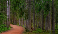 In The Forest (tinamar789) Tags: trees summer tree green pine forest espoo finland woods path trace silence luukki