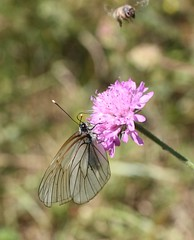Black-veined White (Aporia crataegi) (iainrmacaulay) Tags: blackveined white butterfly france aporia crataegi