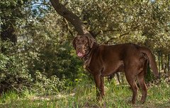 louka-1an (angeconsales) Tags: labrador chocolat chien animal de compagnie