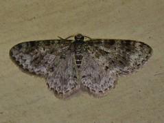 Moth_053016h (Eric C. Reuter) Tags: ny nature wildlife may insects moths hancock catskills 2016 somersetlake mothing 053016