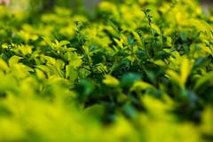 IMG_9933_1 (pavel.milkin) Tags: light green leaves eco helios 442 helios442 helioslens