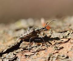 Rhagium sp. - Mönchbruch (Phil Arachno) Tags: naturschutzgebiet deutschland insekt insekten germany insecta coleoptera hexapoda arthropoda hessen mönchbruch deu