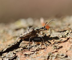 Rhagium sp. - Mnchbruch (Phil Arachno) Tags: germany hessen deu arthropoda coleoptera insecta hexapoda mnchbruch