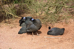Chester Zoo (383) (rs1979) Tags: zoo chester guineafowl chesterzoo tsavobirdsafari