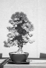 DSC_3910s (An Xiao) Tags: arboretum bonsai penjing