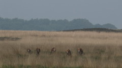Hindes..Veluwe (jopieborst) Tags: nature wildlife reddeer veluwe edelherten sigma120400 canon70d