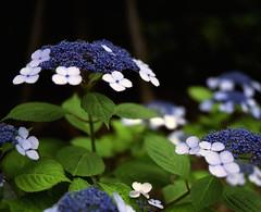 (  / Yorozuna) Tags: plant flower color japan tokyo violet  hydrangea   analogphotography bluepurple  6   mamiyarb67     hydrangeamacrophylla     blueviolet kawadacho   shinjukuward  filmscanning mamiyarb67professionals    wakamatsukawada     mamiyasekorc138f90mm
