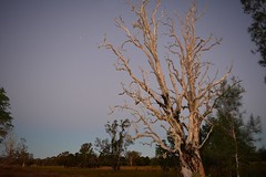 Tuckean Island Road (dustaway) Tags: sky dusk australia deadtree nsw wetlands australianlandscape northernrivers melaleucaquinquenervia australiantrees broadleavedpaperbark richmondvalley tuckeanswamp