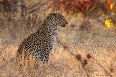 Leopard at sunrise (leendert3) Tags: ngc npc leopard sunrays5