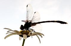 Dragonfly on Daisy (tisatruett) Tags: sky sunlight color detail texture nature beauty insect dragonfly wildlife daisy lovely naturalbeauty wildflower naturephotography
